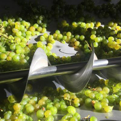 White wine grapes ready to be chopped