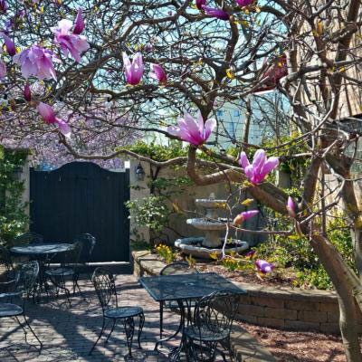 Our Chinese magnolia tree in bloom