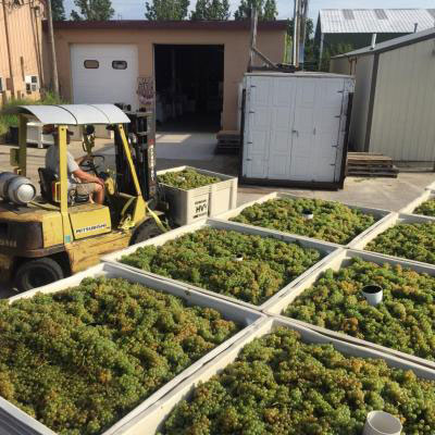 Harvested chardonnay grapes