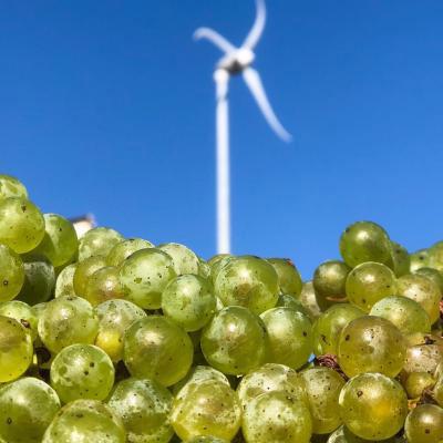 Closeup of white wine grapes
