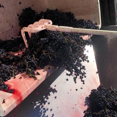 Raking red wine grapes